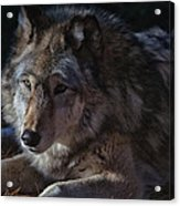 Colors Of A Wolf Acrylic Print