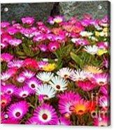 Colourful Flowers Acrylic Print