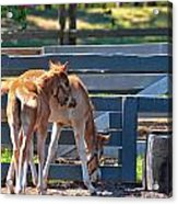 Colts At Play Acrylic Print