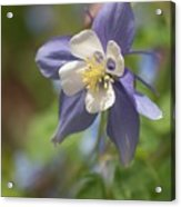 Columbine (aquilegia X Hybrida 'swan Blue And White') Acrylic Print