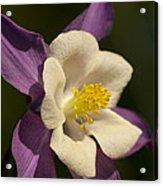 Columbine Floral Acrylic Print