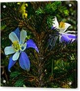 Columbine Flowers And Pine Tree Acrylic Print