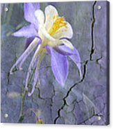 Columbine On Cracked Wall Acrylic Print by James Steele