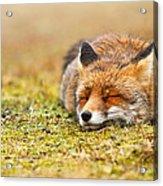 Comfortably Fox Acrylic Print