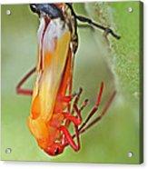 Coming Of Age - Large Milkweed Bug - Oncopeltus Fasciatus Acrylic Print