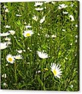 Coming Up Daisy's Acrylic Print