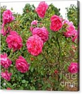 Coming Up Rosy Acrylic Print