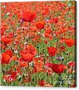 Commemorative Poppies Acrylic Print