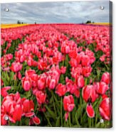 Commercial Tulip Field In Bloom Acrylic Print