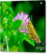 Common Banded Skipper Acrylic Print