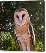 Common Barn Owl 1 Acrylic Print