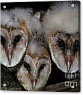 Common Barn Owl Chicks Tyto Alba Acrylic Print by Ron Sanford