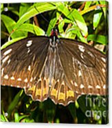 Common Birdwing Butterfly Acrylic Print