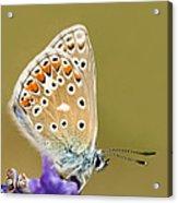 Common Blue Acrylic Print