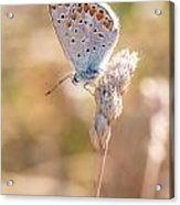 Common Blue Butterfly Acrylic Print