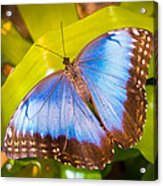 Common Blue Morpho Acrylic Print