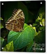 Common Blue Morpho Moth Acrylic Print
