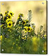 Common Brighteyes Natural Bouquet Acrylic Print