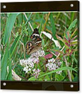 Common Buckeye Butterfly - Junonia Coenia Acrylic Print