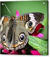Common Buckeye Junonia Coenia Acrylic Print