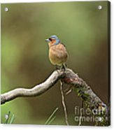 Common Chaffinch Acrylic Print