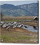 Common Crane Grus Grus Acrylic Print
