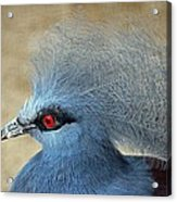 Common Crowned Pigeon Acrylic Print