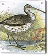 Common Curlew Acrylic Print