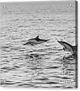 Common Dolphins Leaping. Acrylic Print