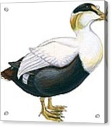 Common Eider Acrylic Print by Anonymous