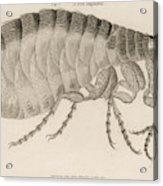 Common Flea (pulex)           Date 1810 Acrylic Print