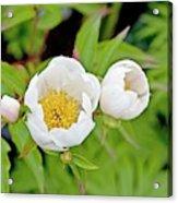 Common Garden Peony (paeonia Lactiflora) Acrylic Print