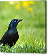 Common Grackle Acrylic Print by Christina Rollo