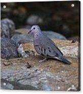 Common Ground-dove Acrylic Print