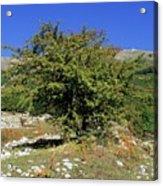 Common Hawthorn (crataegus Monogyna) Acrylic Print
