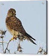 Common Kestrel Falco Tinnunculus 3 Acrylic Print