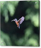 Common Kingfisher In Flight Acrylic Print