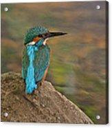 Common Kingfisher Acrylic Print