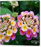 Common Lantana Flower Acrylic Print