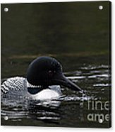 Common Loon 1 Acrylic Print by Larry Ricker