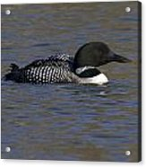 Common Loon 51 Acrylic Print