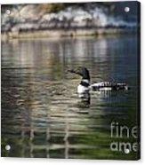 Common Loon On Northern Lake Acrylic Print