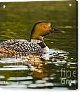 Common Loon Pictures 145 Acrylic Print