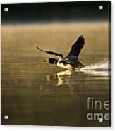 Common Loon Pictures 147 Acrylic Print