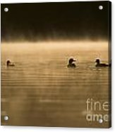 Common Loon Pictures 148 Acrylic Print