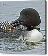 Common Loon With Food Acrylic Print