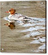 Common Merganser Hen Acrylic Print