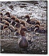 Common Merganser With Chicks Acrylic Print