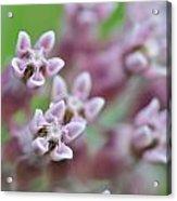Common Milkweed Acrylic Print