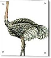 Common Ostrich Acrylic Print